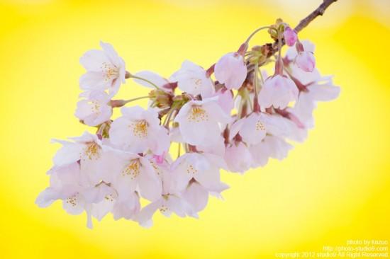 お花畑と桜の関係性
