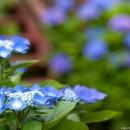 どこを撮る? 紫陽花の群生を望遠で切り取る(例)