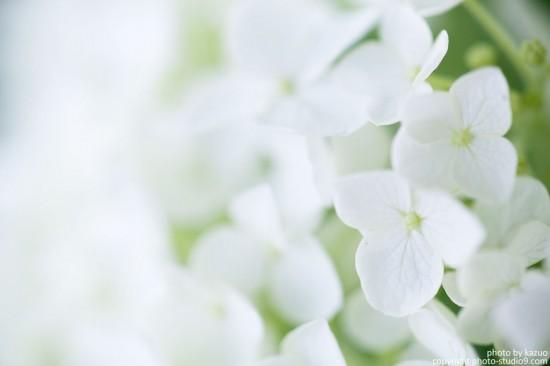 紫陽花マクロ最初の1枚