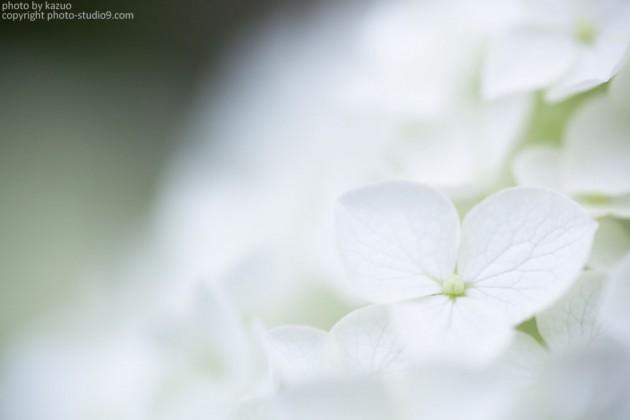 マクロ 紫陽花