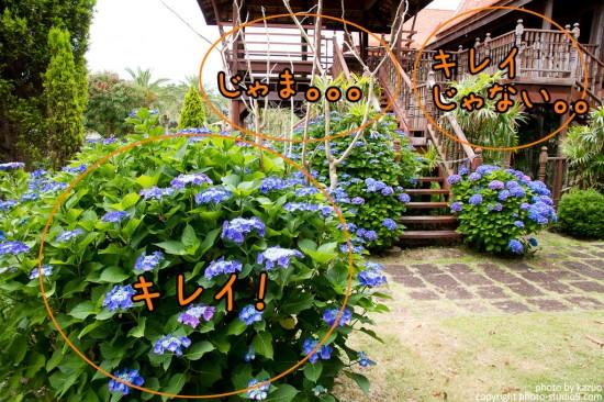 どこを撮る? 紫陽花の群生を望遠で切り取る(全景)