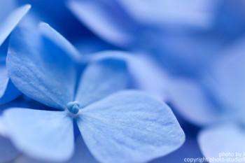 macro world thumnail紫陽花