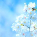 桜の撮り方