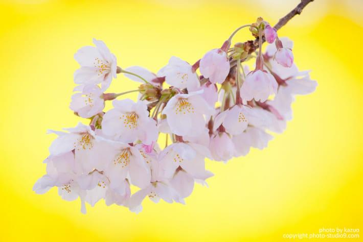 黄色の背景の桜
