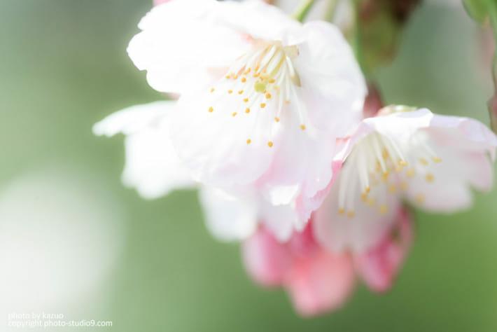 緑の背景の桜