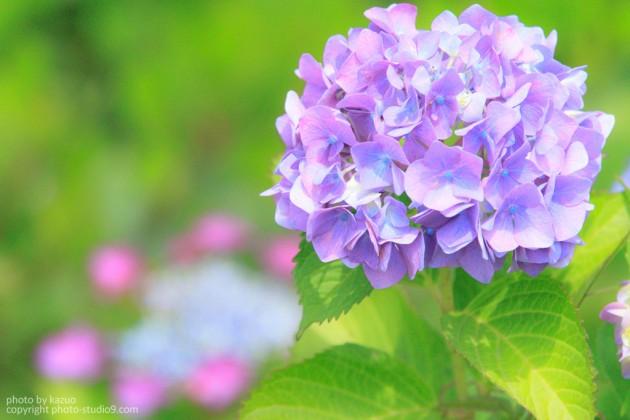 紫陽花修正前