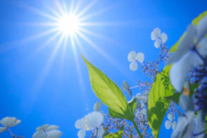 あじさい 太陽を直接入れる