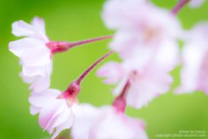 京都桜ワークショップ