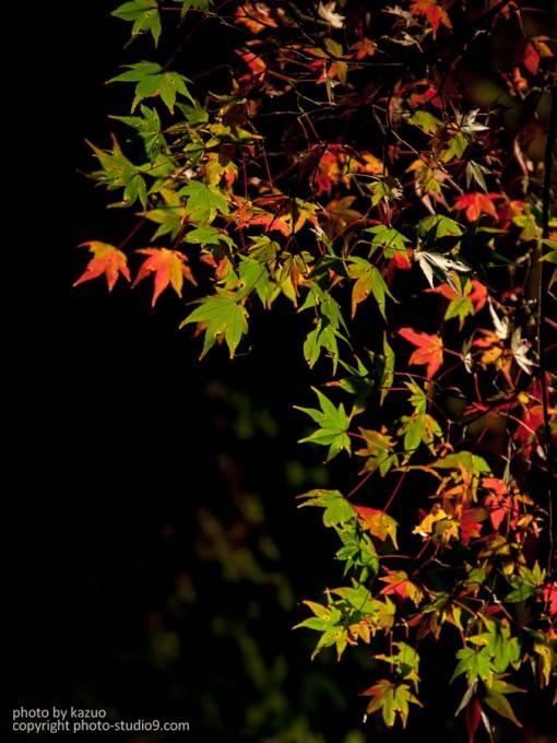 紅葉の撮り方 ライトアップ