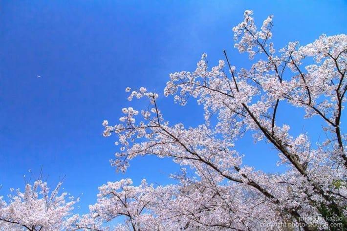桜の撮り方 C-PLフィルター