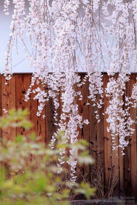 桜の撮り方 曇りの日
