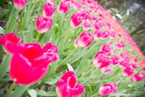 京都府立植物園 チューリップ