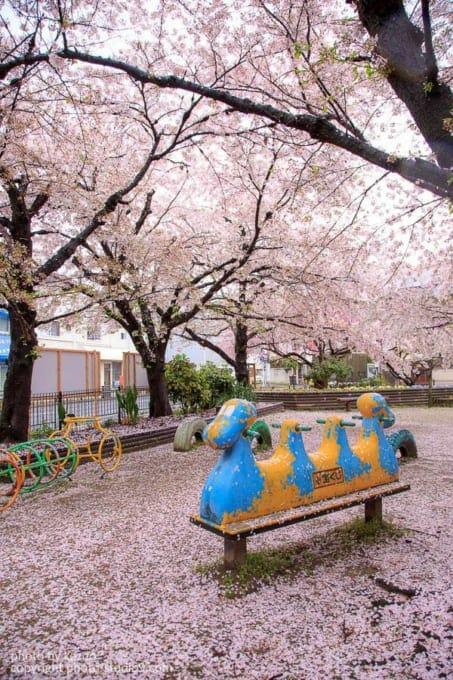 桜の撮り方 雨の日