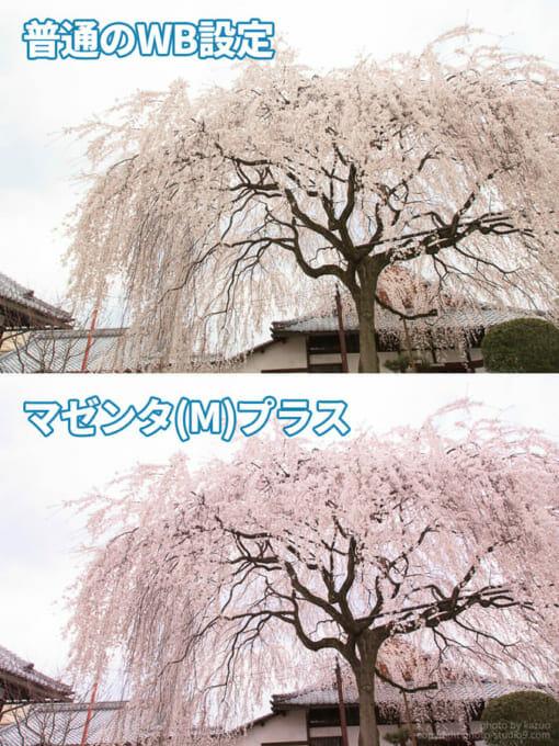 桜の撮り方 ホワイトバランス補正