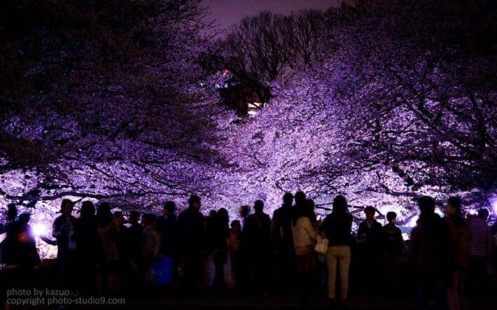 桜の撮り方 夜桜 ライトアップ