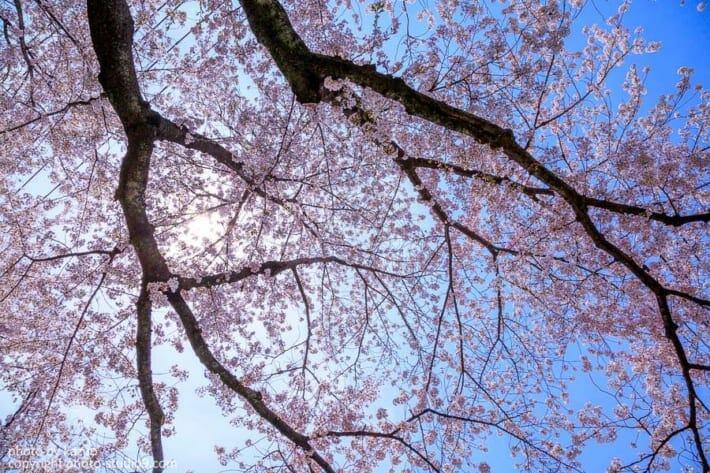 桜の撮り方 晴れた日
