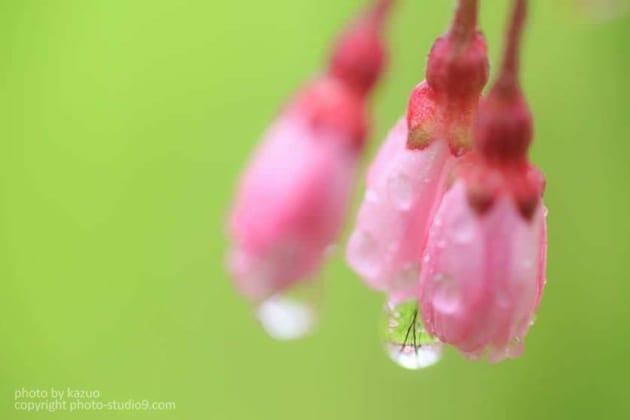 桜の撮り方 雨の日 マクロ