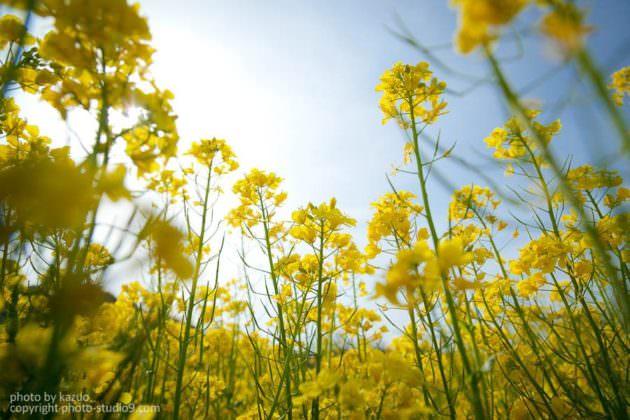 ローポジションローアングル 菜の花