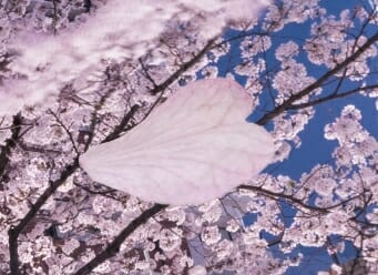 夜桜 現像 レタッチ Photoshop
