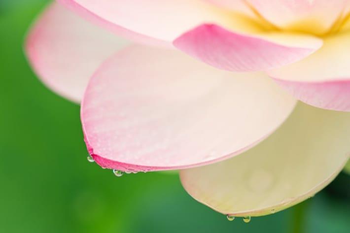 蓮の花をアップで撮影