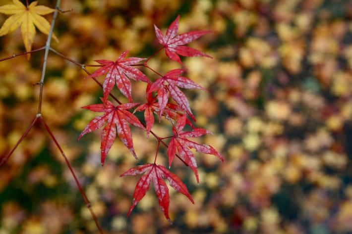 紅葉雨の日