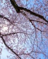 保存版!ステキな桜の写真を撮るためのシーン別の撮影ポイントや設定まとめ